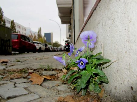 Stiefmütterchen auf dem Gehweg in Kreuzberg