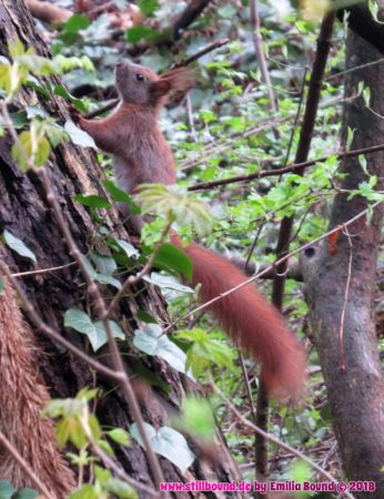 Eichhörnchen im Viktoriapark, Berlin