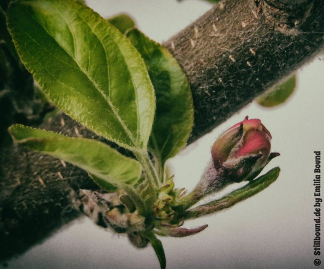 die erste Apfelblüte im Frühjahr